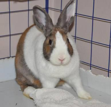 Dutch - Milk Dud - Medium - Adult - Female - Rabbit
