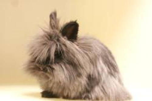 Angora Rabbit - Stitch - Medium - Adult - Female - Rabbit