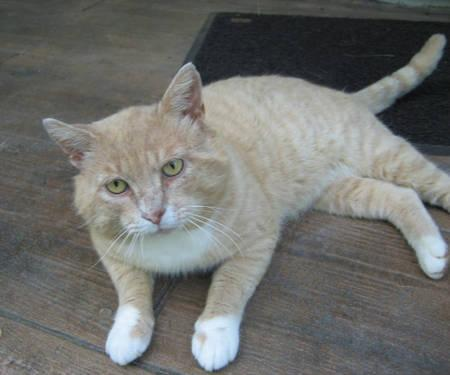 Tabby - Orange - Kofta - Medium - Adult - Male - Cat
