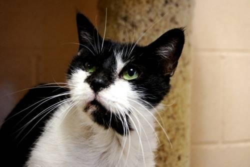 Manx - Marvelous Mikey - Medium - Adult - Male - Cat