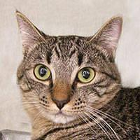 Tabby - Brown - Jules - Medium - Adult - Male - Cat