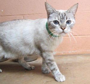 Siamese - #10 Brady - Large - Adult - Male - Cat