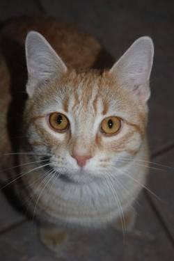 American Shorthair - Garfield - Medium - Adult - Male - Cat