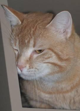 Tabby - Orange - Mike - Medium - Adult - Male - Cat