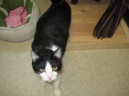Domestic Short Hair - Jessie - Large - Adult - Male - Cat