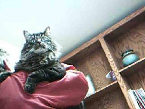 Domestic Long Hair - Buddie - Medium - Adult - Male - Cat