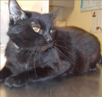 Domestic Short Hair - Arthur - Medium - Adult - Male - Cat