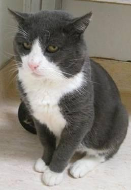 Domestic Short Hair - Bob - Large - Adult - Male - Cat