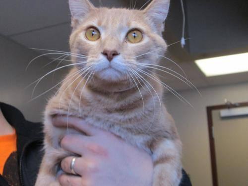 Domestic Short Hair - Arthur - Large - Adult - Male - Cat