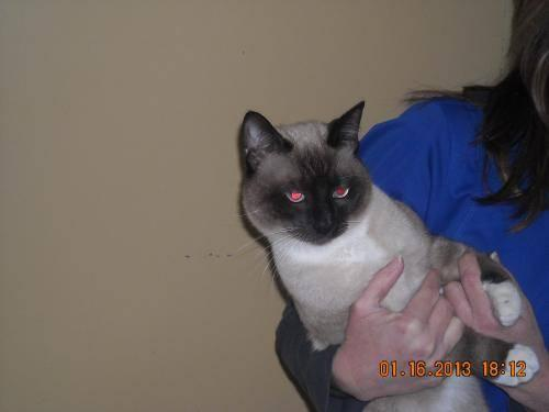 Siamese - Rodeo -adopted! - Medium - Adult - Male - Cat