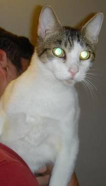 Domestic Short Hair - A487557 - Medium - Adult - Male - Cat