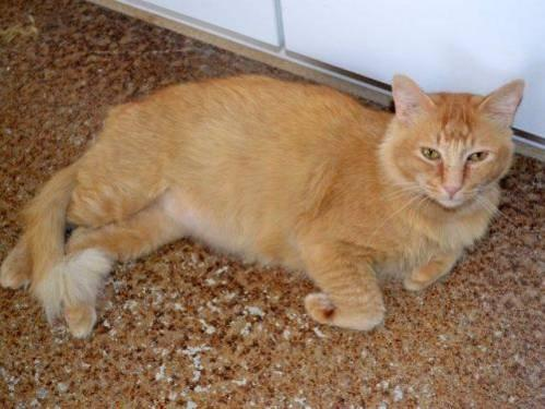 Domestic Long Hair - Bosworth - Small - Adult - Male - Cat