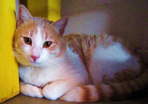 Siamese - #47 Tobias - Medium - Adult - Male - Cat