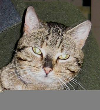 Domestic Short Hair - Billy - Medium - Adult - Male - Cat