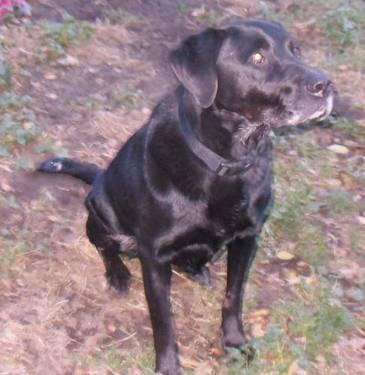 Labrador Retriever - Tommy - Large - Adult - Male - Dog