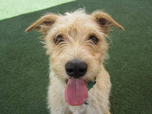 Wheaten Terrier - Georgie - Small - Adult - Male - Dog