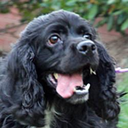 Cocker Spaniel - Booboo - Medium - Adult - Male - Dog