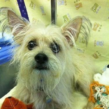 Cairn Terrier - Floyd - Small - Adult - Male - Dog
