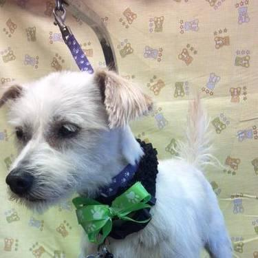 Cairn Terrier - Beefy - Small - Adult - Male - Dog