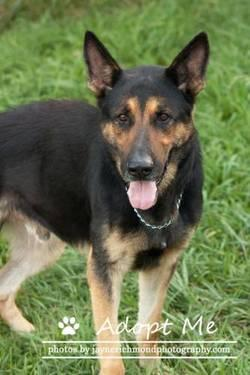 German Shepherd Dog - Dakota - Large - Adult - Male - Dog