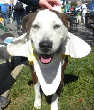 Hound - Patch New - Medium - Adult - Male - Dog