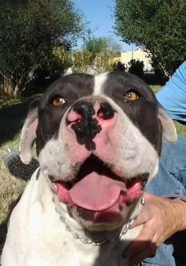 Pit Bull Terrier - Duke - Large - Adult - Male - Dog