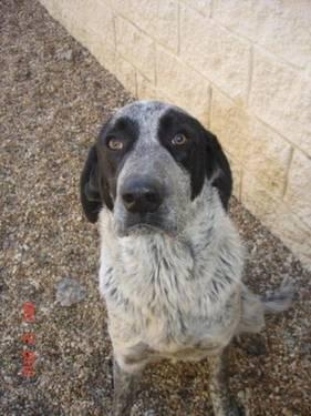 Bluetick Coonhound - Comet - Large - Adult - Male - Dog