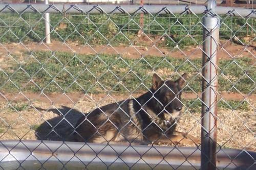 German Shepherd Dog - Sage - Large - Adult - Male - Dog