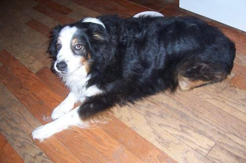 Australian Shepherd - Carter - Medium - Adult - Male - Dog