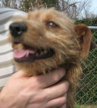 Wirehaired Terrier - Borok - Small - Adult - Male - Dog