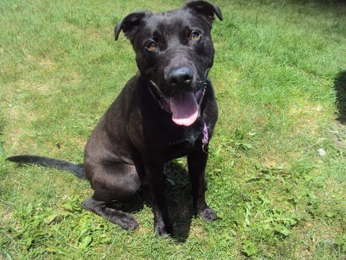 Labrador Retriever - Brin - Medium - Adult - Male - Dog