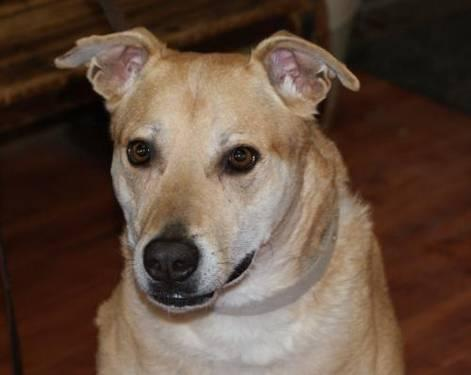 Yellow Labrador Retriever - Duke - Large - Adult - Male - Dog