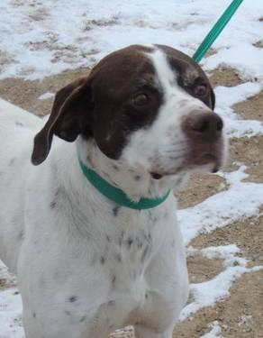 German Shorthaired Pointer - Jim - Large - Adult - Male - Dog