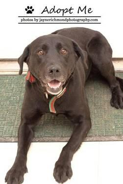 Black Labrador Retriever - Romeo - Large - Adult - Male - Dog