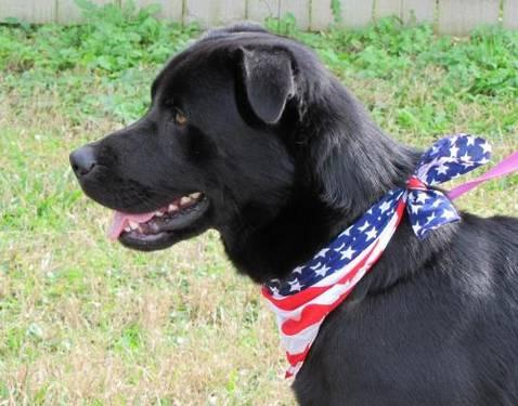 Labrador Retriever - Bowie - Large - Adult - Male - Dog