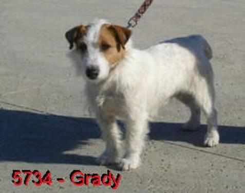 Jack Russell Terrier - Grady - Small - Adult - Male - Dog
