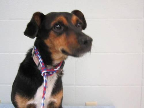 Miniature Pinscher - Jack - Medium - Adult - Male - Dog