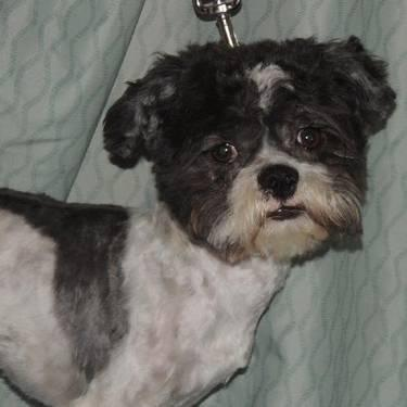 Shih Tzu - Alex - Small - Adult - Male - Dog