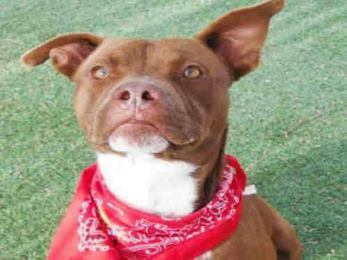 Pit Bull Terrier - Rouge - Medium - Adult - Male - Dog