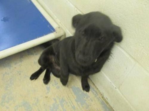 Labrador Retriever - Kudos - Medium - Adult - Male - Dog