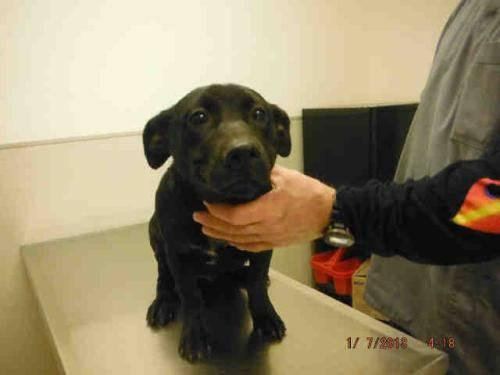 Labrador Retriever - A548256 - Small - Adult - Male - Dog