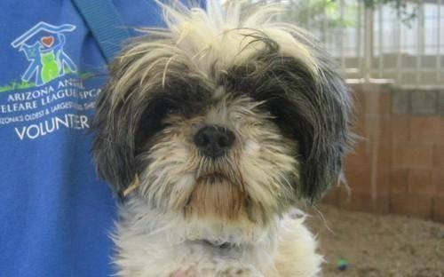 Shih Tzu - Max - Small - Adult - Male - Dog