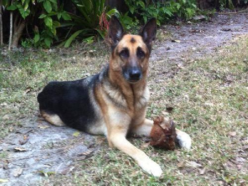 German Shepherd Dog - Jacob - Large - Adult - Male - Dog