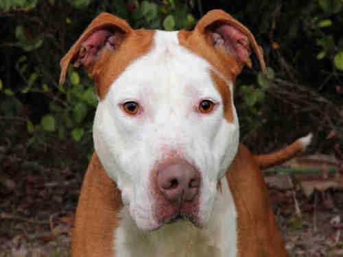 Pit Bull Terrier - Quincey - Large - Adult - Male - Dog