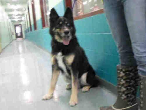 German Shepherd Dog - A063930 - Large - Adult - Male - Dog