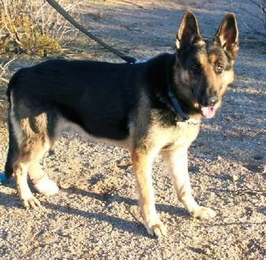 German Shepherd Dog - Tango - Large - Adult - Male - Dog