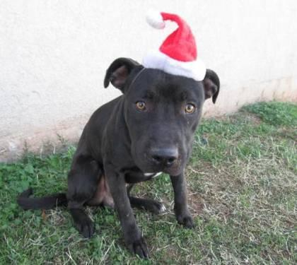 Pit Bull Terrier - Rocky - Medium - Adult - Male - Dog