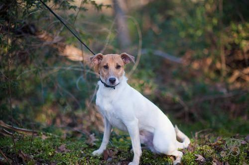 Jack Russell Terrier - Jax - Medium - Adult - Male - Dog