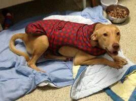 Labrador Retriever - Beldar - Large - Adult - Male - Dog