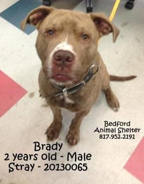 Pit Bull Terrier - Brady - Large - Adult - Male - Dog
